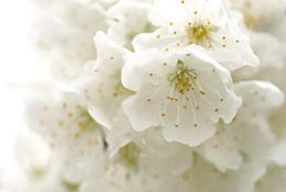 サクランボの花3
